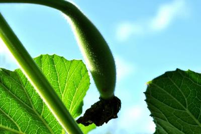 丝瓜汁的功效与作用_驻颜丝瓜汁 喝出健康敷出美丽
