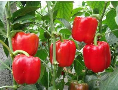 吃番茄可以减肥吗_甜椒番茄减肥食谱酷瘦身