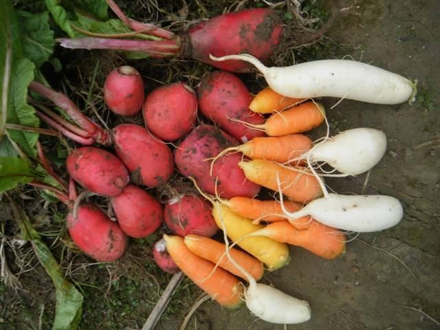 红萝卜和白萝卜可以一起吃吗|白萝卜不能和红萝卜一起吃?这几种食物搭配说法,都没有道理