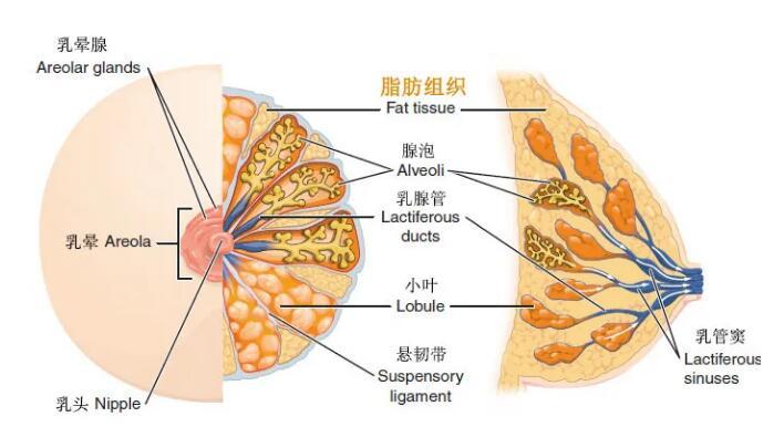 隆胸手术帮你解决胸部大小的问题