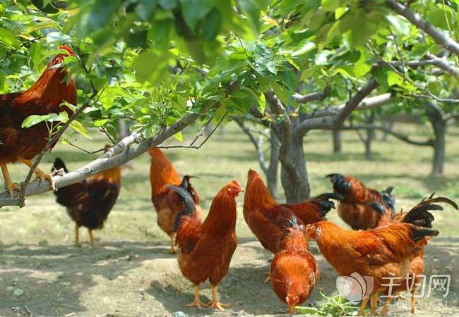 大学生如何创业 大学生农村养鸡创业故事