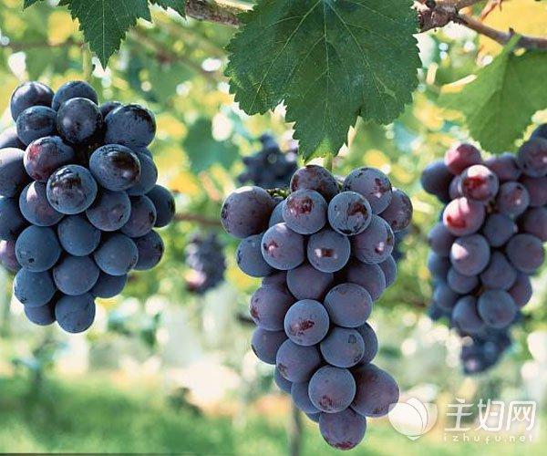 葡萄可以放冰箱吗