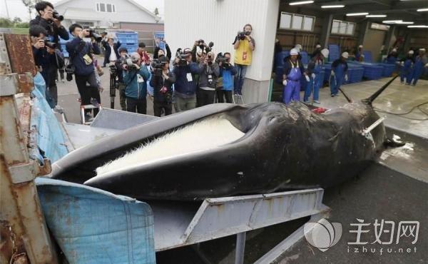 日本重启商业捕鲸.jpeg